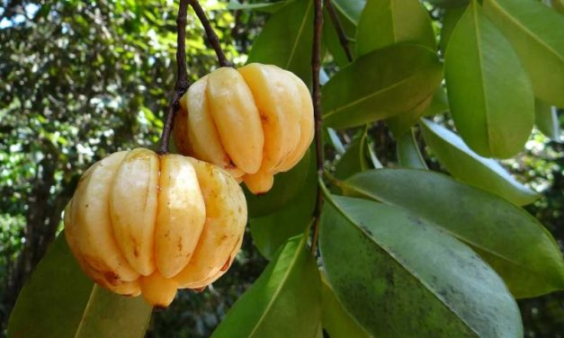 Slim Wave Garcinia Cambogia – Is It Safe for Weight Loss?