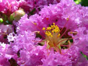 coleus-forskohlii-plant-purple