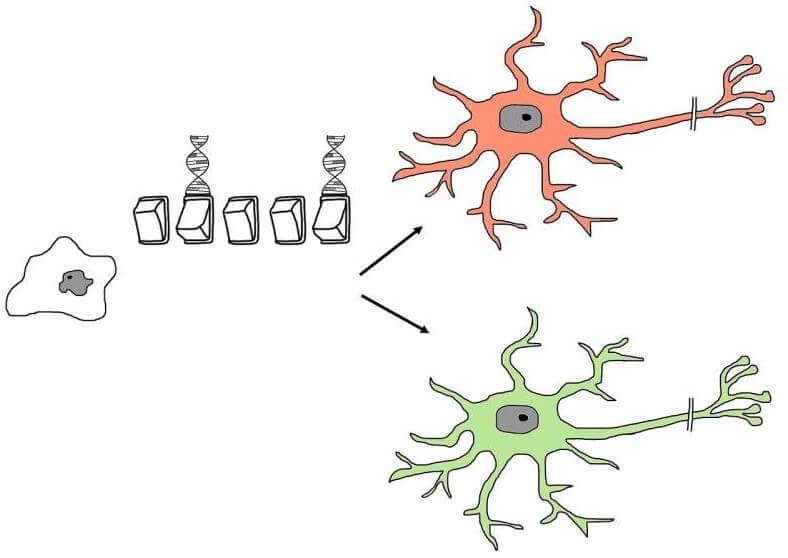 stem-cell-differentiation