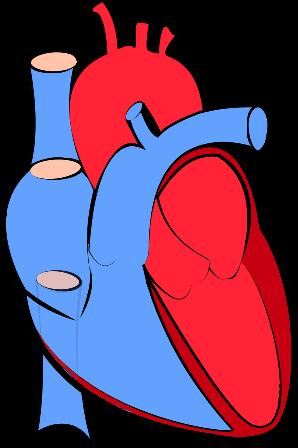 human-heart-blood-flow